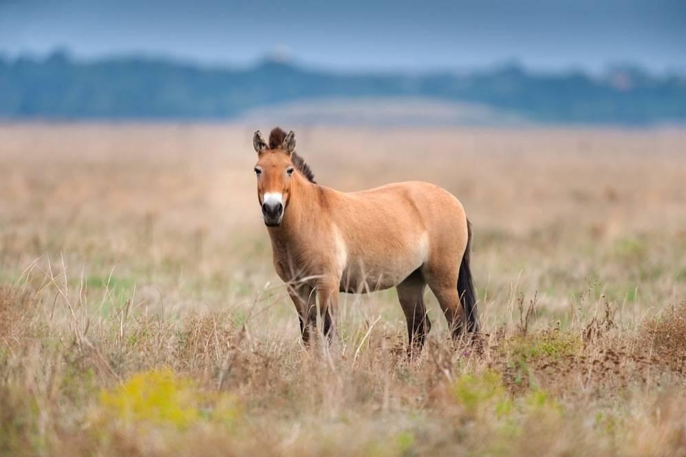 Лошадь пржевальского интересные факты. эволюция — кто раньше, лошадь или зебра? | интересные факты