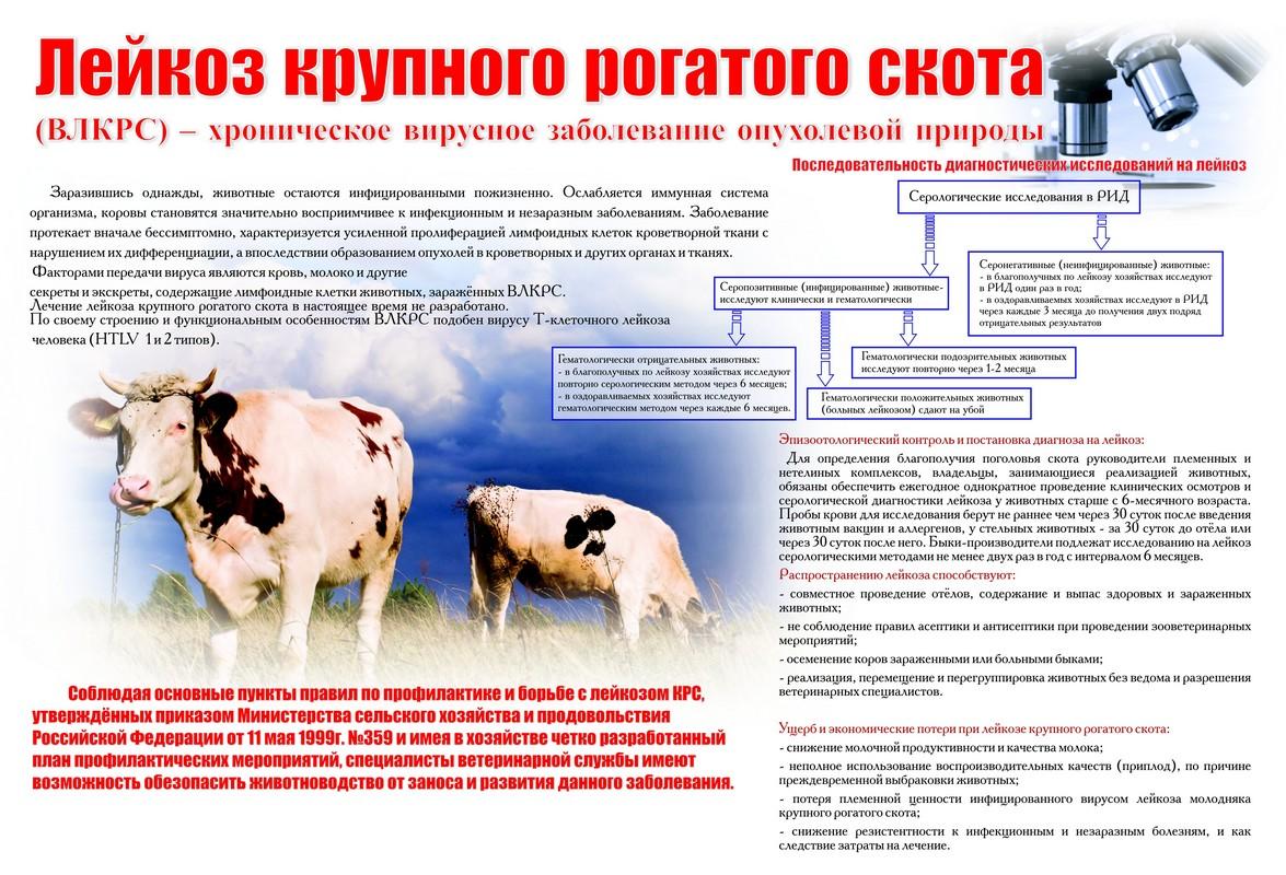 Лейкоз у коров можно ли есть творог