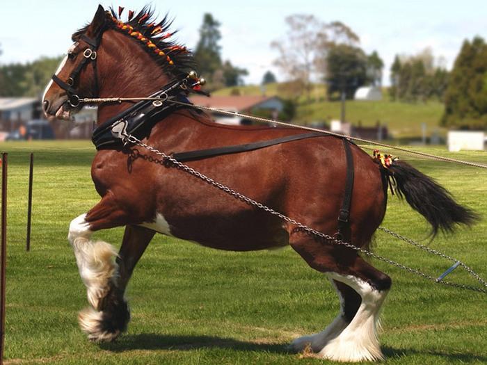 Тяжелоупряжные породы лошадей