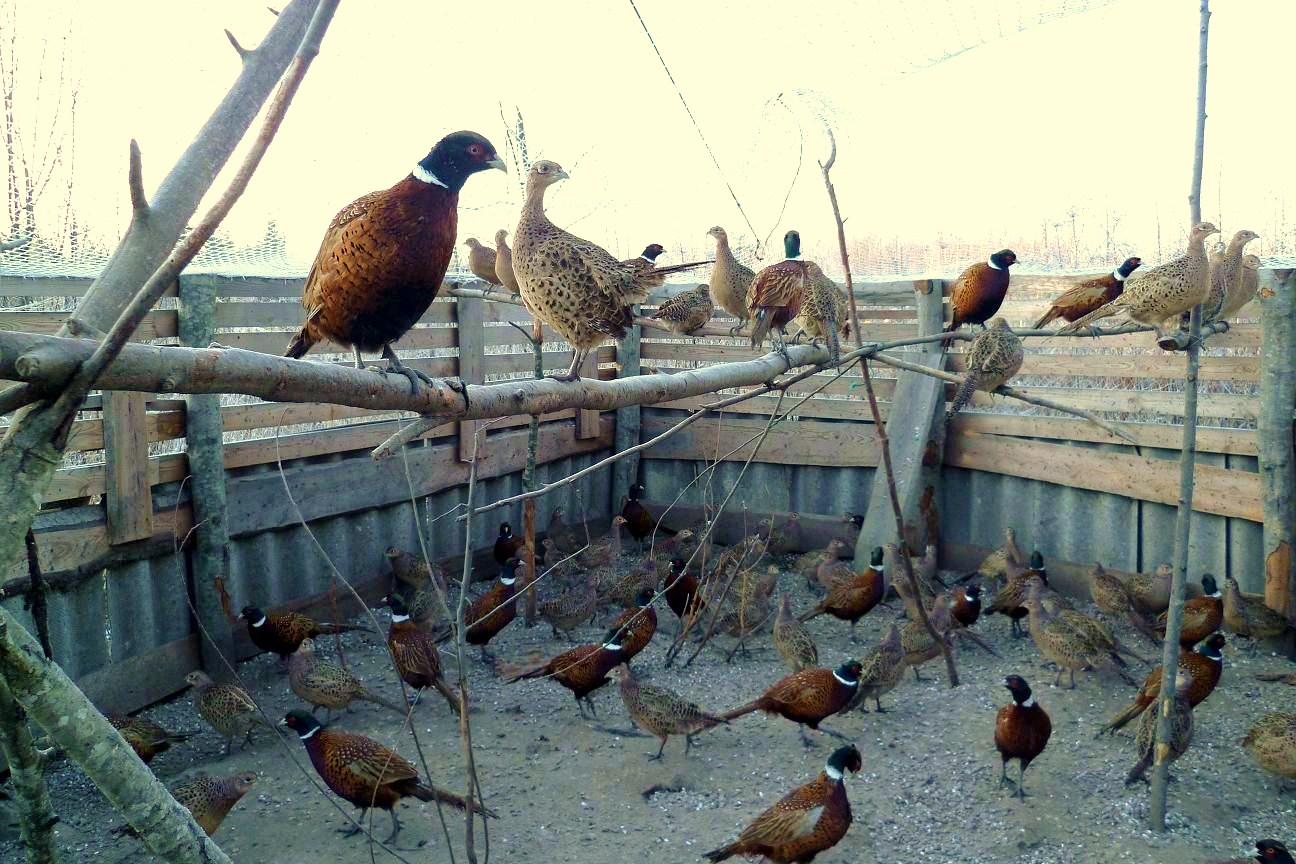 Чем кормить фазанов в домашних условиях?