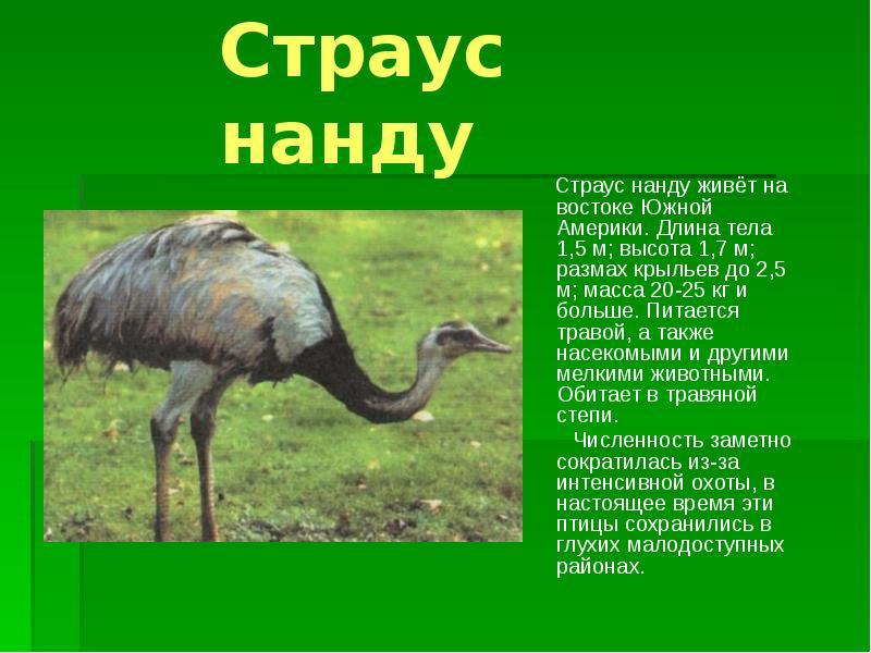 Африканский страус (лат. struthio camelus)