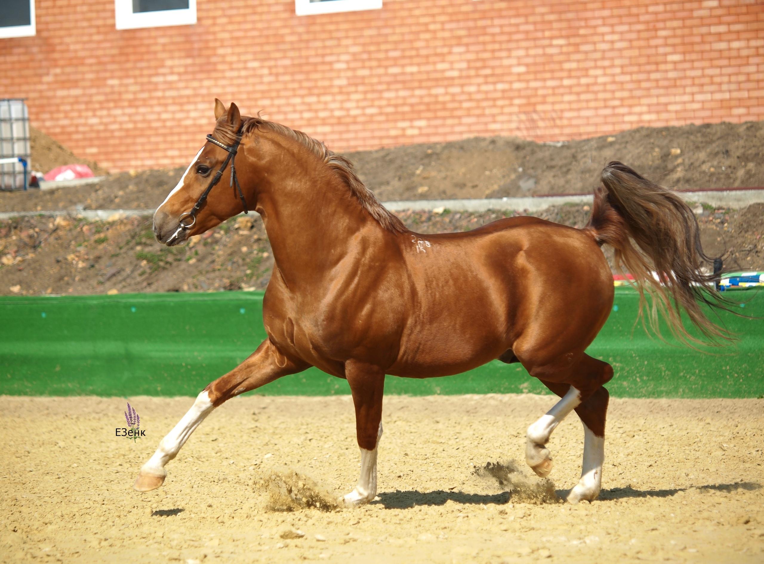 Донская лошадь — настоящее золото донских степей