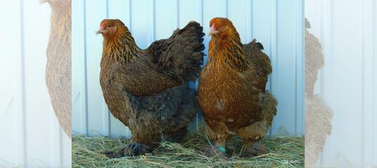Цыплята брама: описания породы, когда начинают нестись куры