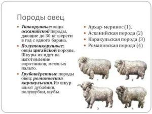 Романовская порода