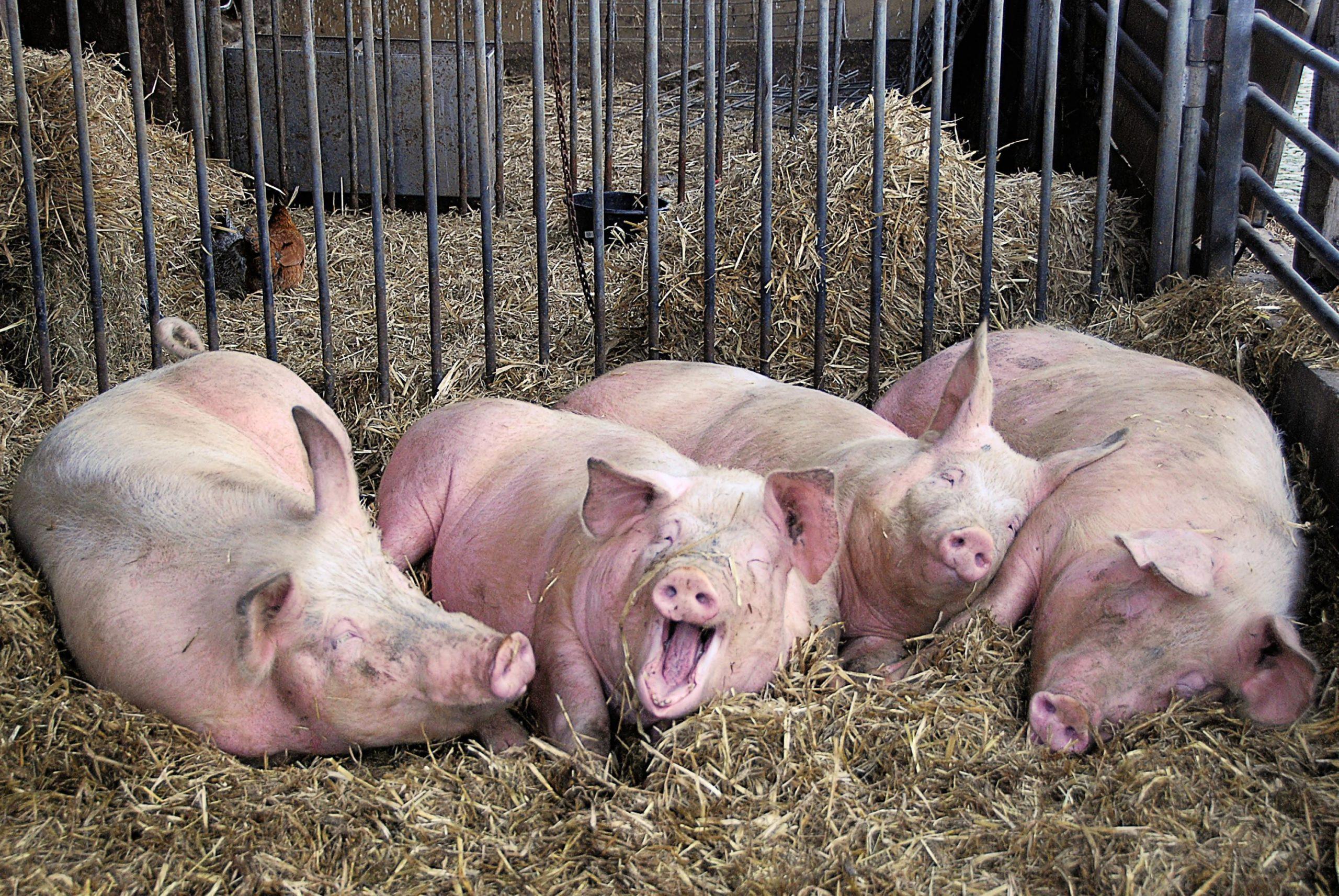 ✅ все о выращивании вьетнамской породы свиней: правила откорма, как ухаживать - tehnomir32.ru