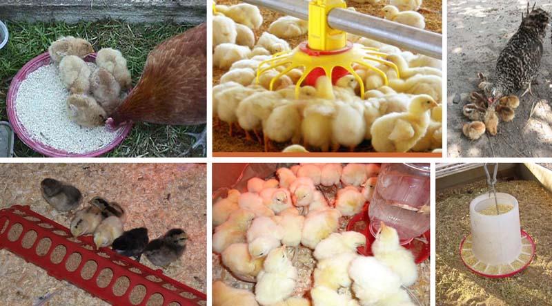 Правила выращивания птенцов. кормление цыплят до месяца и после