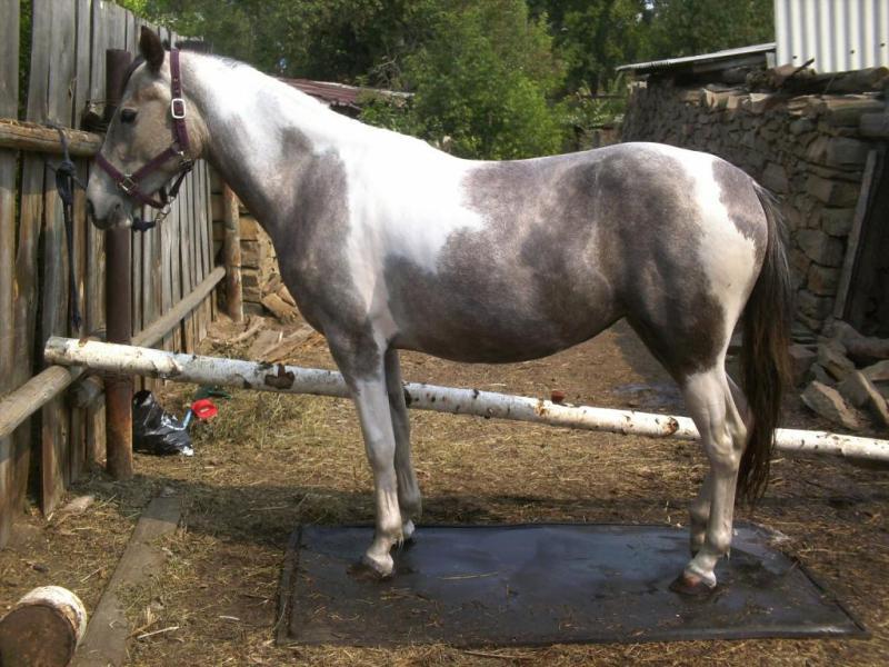 Масти лошадей: название, описание, фотографии гнедой лошади и других