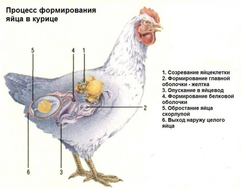 Почему куры несут яйца без скорлупы, как это исправить и что делать в домашних условиях