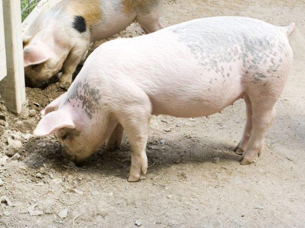 Чесотка у свиней: признаки, симптомы, лечение поросят