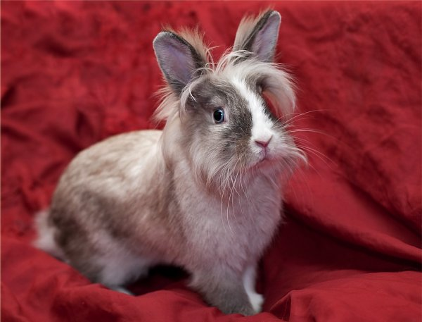 Карликовый кролик: 125 фото и видео распространенных пород, выбор клетки и корма