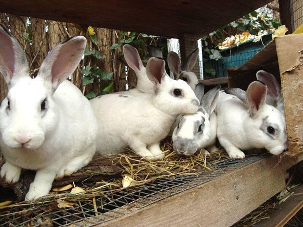 Учимся правильно отсаживать крольчат от матери