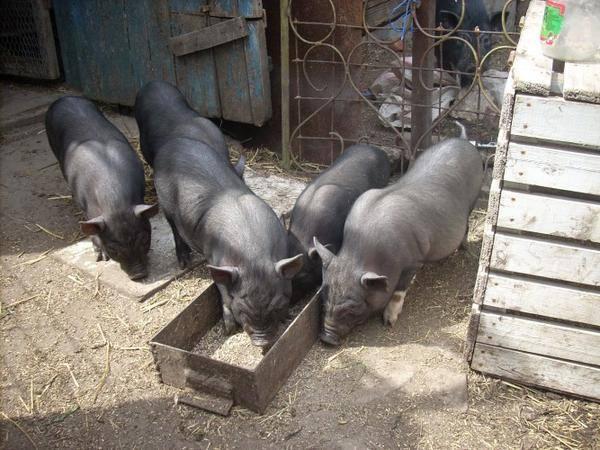 Выгодно ли разводить вьетнамских вислобрюхих свиней