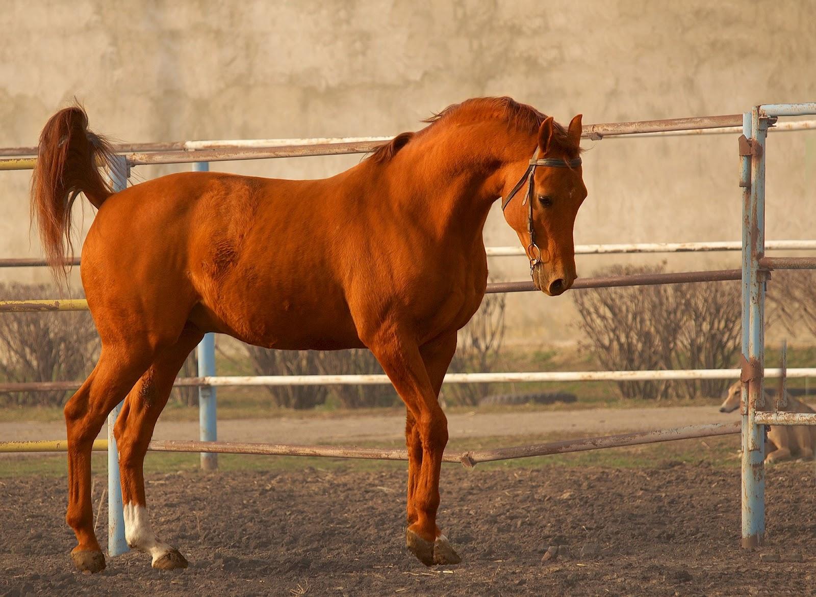 Состояние буденновской и донской пород лошадей на 2019 год — agroxxi