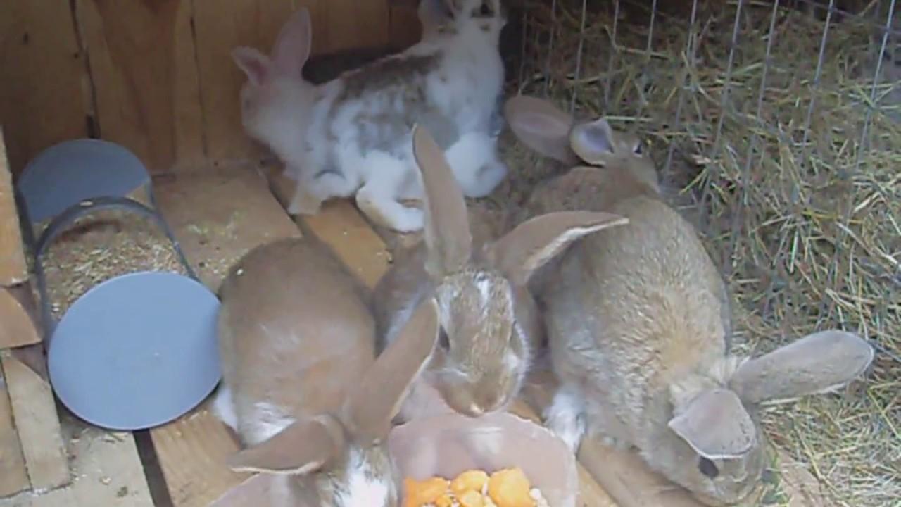 Когда отсаживать крольчат от крольчихи: выбор оптимального возраста