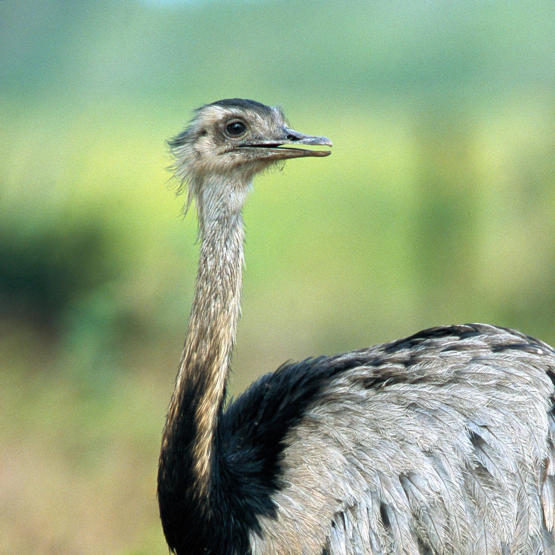 Страус нанду (16 фото): описание американского трехпалого страуса. интересные факты о страусе из южной америки