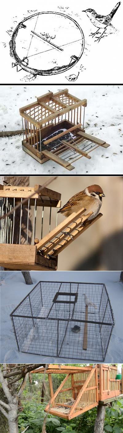 О фазанах: как поймать с помощью ловушки живую птицу в домашних условиях