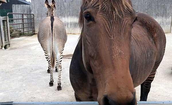 Скрещивание лошадей: виды. особенности и результаты спаривания ослов и лошадей : labuda.blog скрещивание лошадей: виды. особенности и результаты спаривания ослов и лошадей — «лабуда» информационно-развлекательный интернет журнал