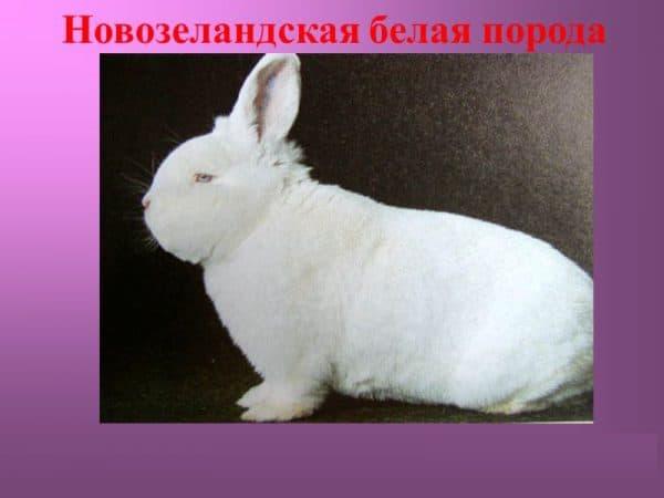 Новозеландский кролик, красные и белые подвиды