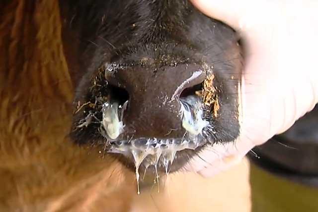 Кашель у теленка: чем лечить, народные средства