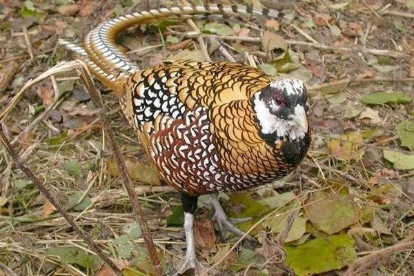 Обыкновенный фазан: описание, особенности питания, размножение и интересные факты