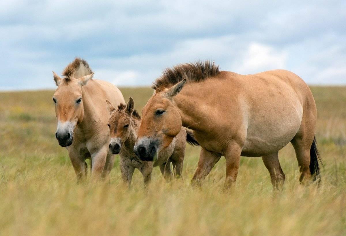 Лошадь пржевальского - фото и описание, интересные факты