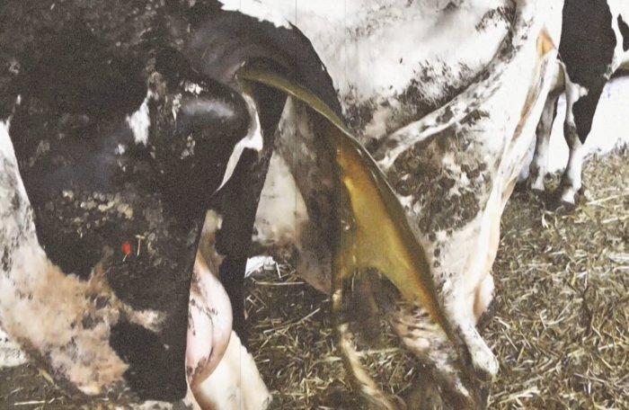 Причины появления выделений у коров после отёла - дача круглый год