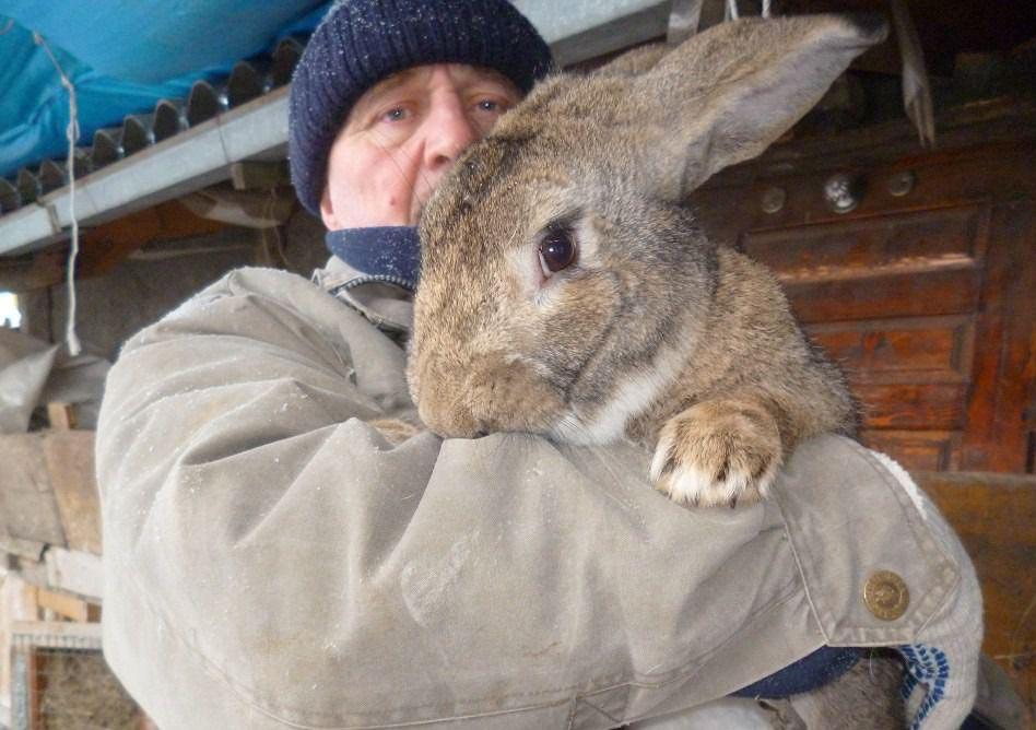 Большие кролики: кто они, ушастые «великаны»?