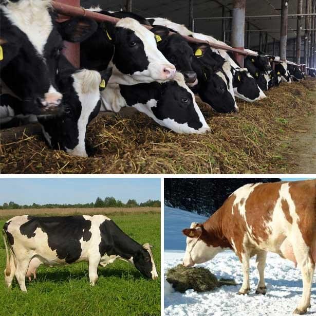 ✅ кормление коров (сухостойных, молочного направления, в летний период) - tehnomir32.ru