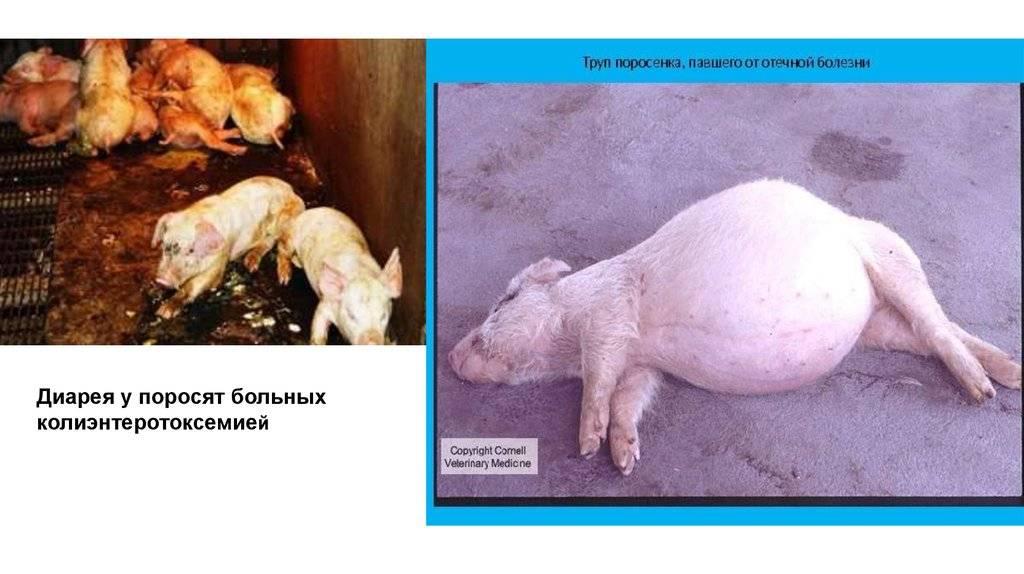 Уши свиньи болезни ушей у свиней - oozoo.ru