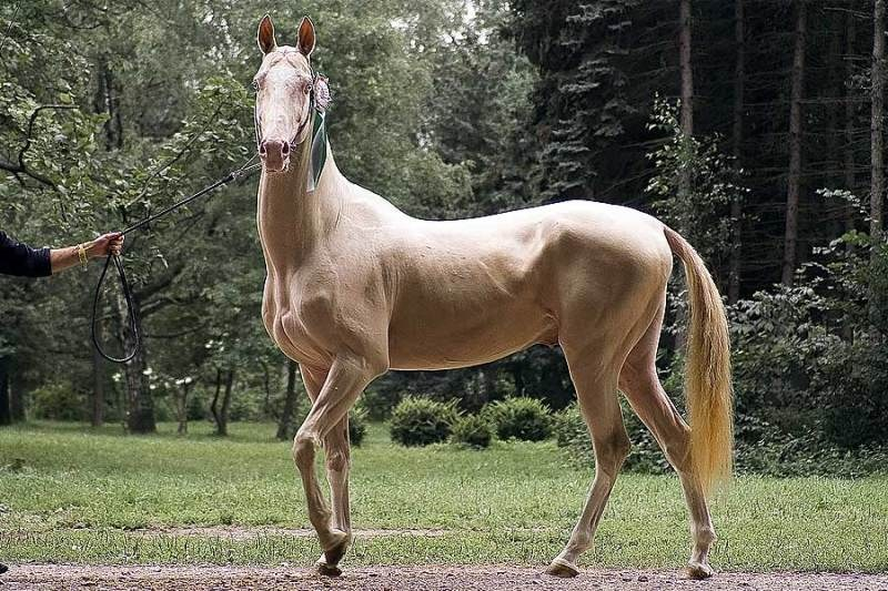 Особенности лошадей изабелловой масти: в чем их ценность?