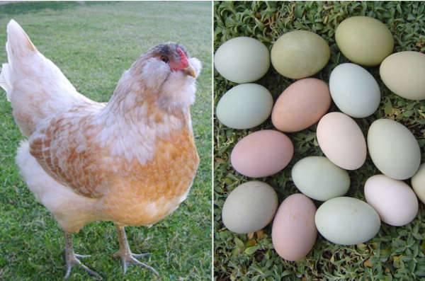 Куры породы «амераукана»: пасхальные яйца, гены-убийцы и «араукановая лихорадка»