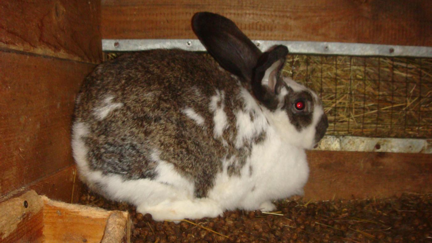 Сколько длится беременность у кроликов: продолжительность