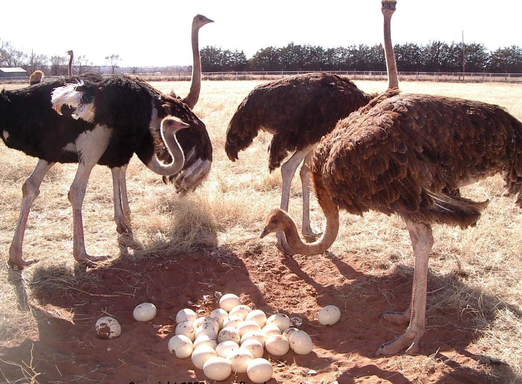 Как часто страусы несут яйца? сколько яиц несет страус в месяц