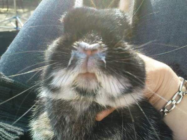 Кролик чихает: что делать, почему возникает ринит