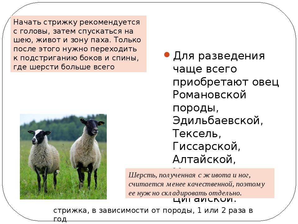 Овцы романовской породы: история появления, достоинства, недостатки, разведение и кормление