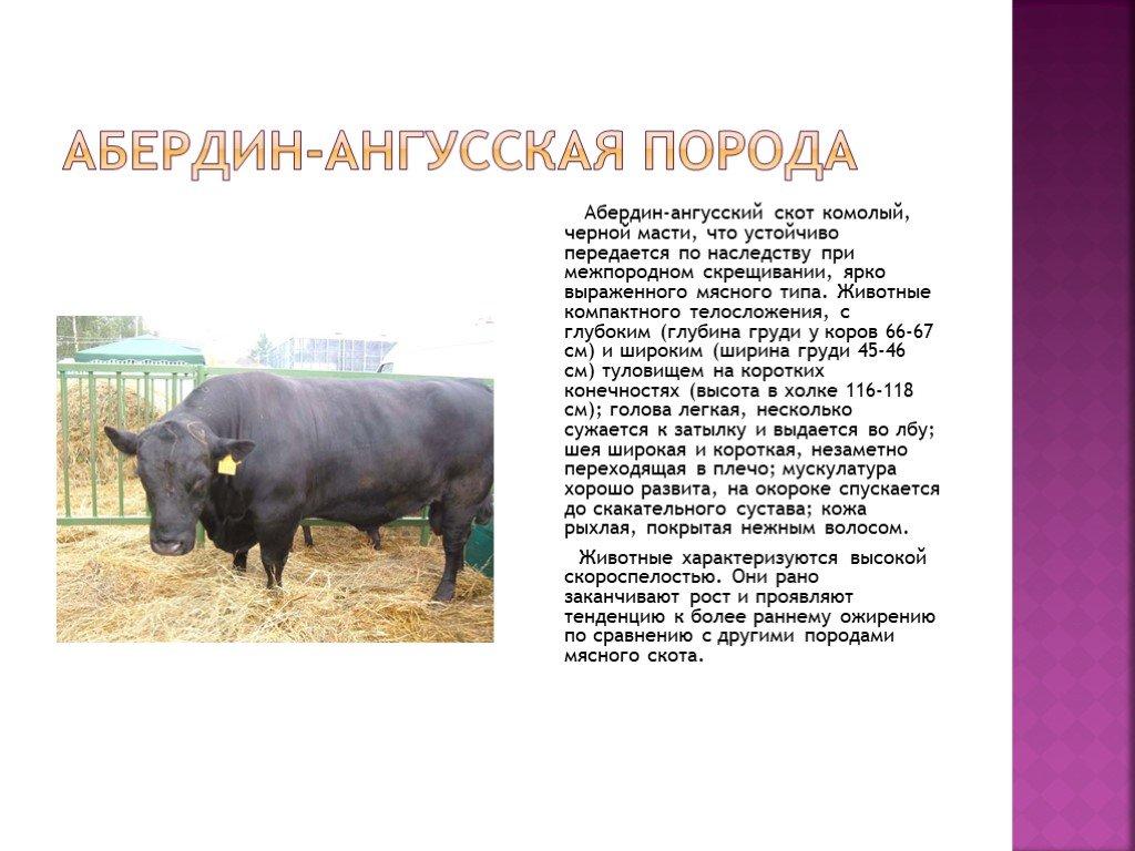 Всё о лучшей мясной породы коров абердин-ангус