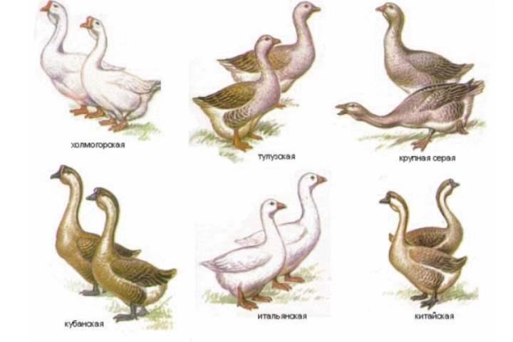 Как отличить утку от гуся: внешние признаки, поведение