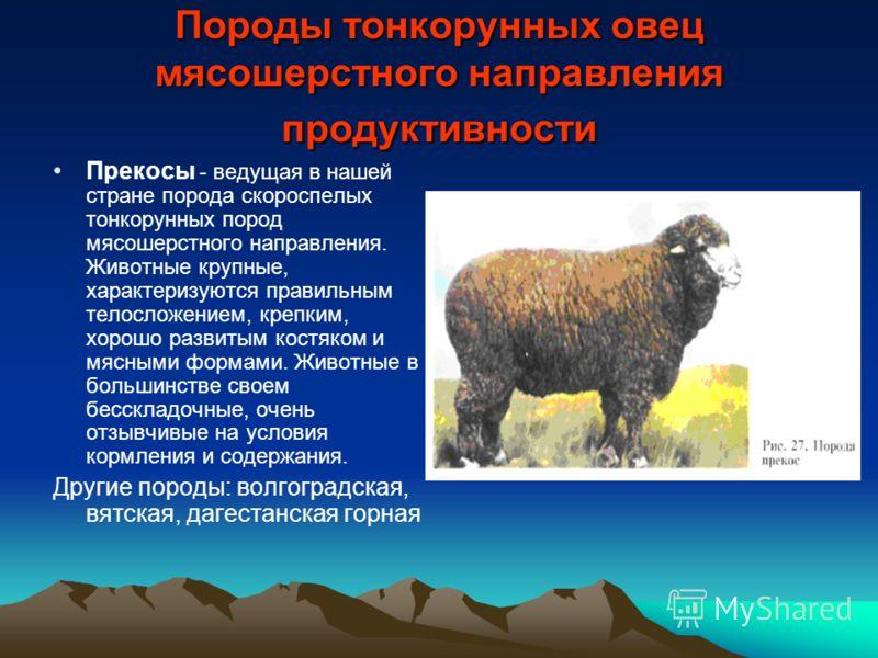 Овцы мясных пород: классификация и особенности
