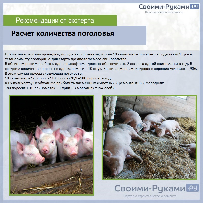 Мясные породы свиней (31 фото): поросят какой породы можно выращивать на мясо в домашних условиях в россии?