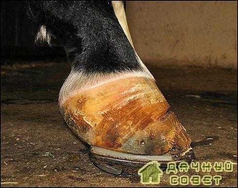 Заболевания копыт у коров: травмы и другие недуги