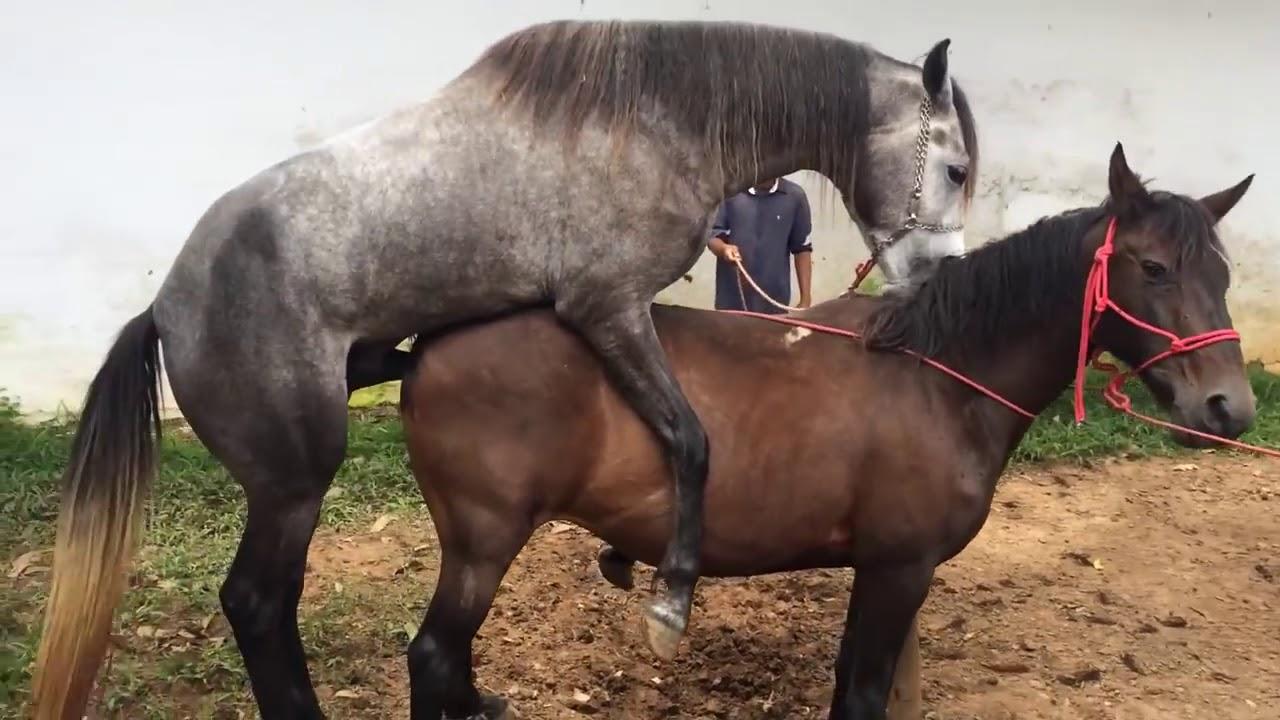 Как спариваются лошади: процесс осеменения
