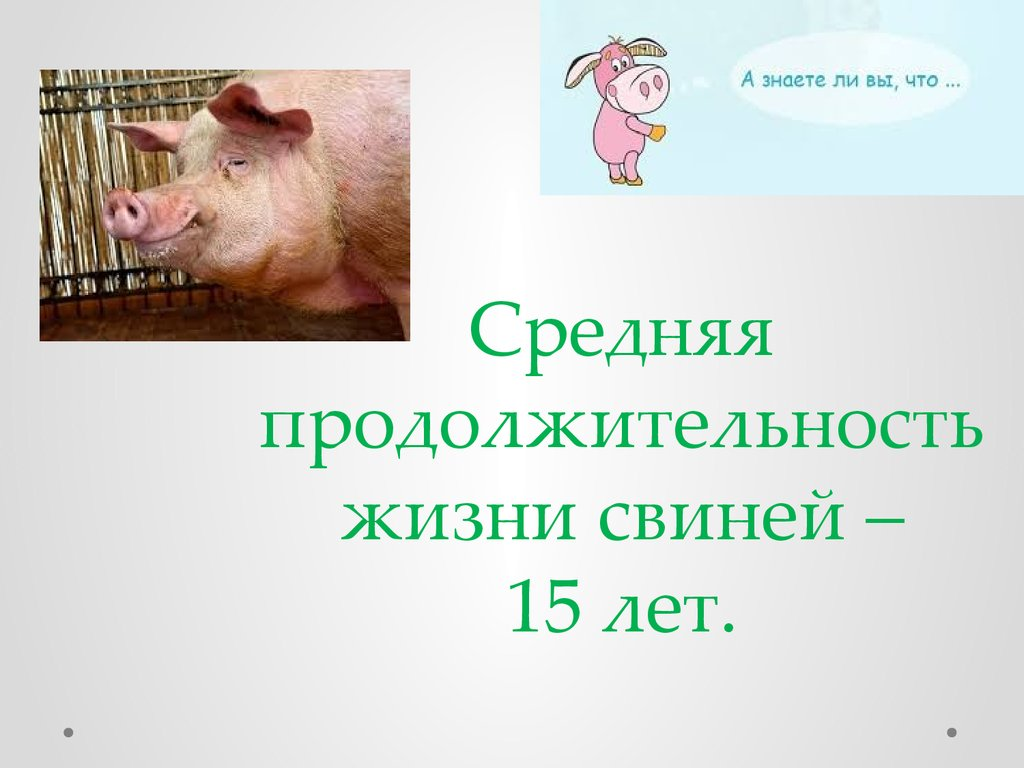 Все о выращивании вьетнамской породы свиней: правила откорма, как ухаживать