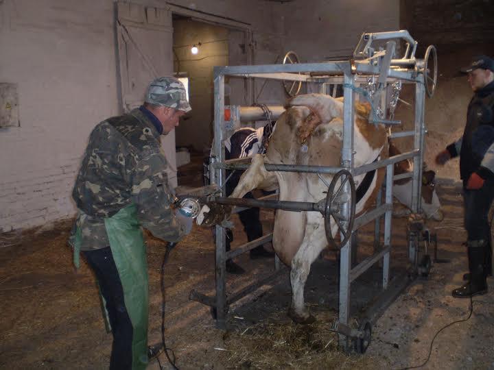 Мокрец у коровы: признаки и лечение