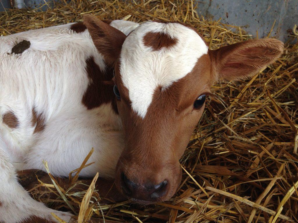 Что делать, если у теленка бронхопневмония, как предотвратить последствия?