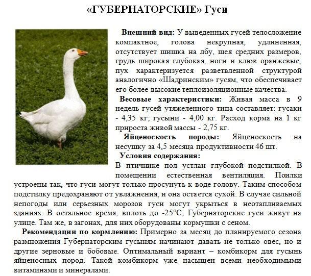 Губернаторские гуси: описание породы, содержание и уход, фото