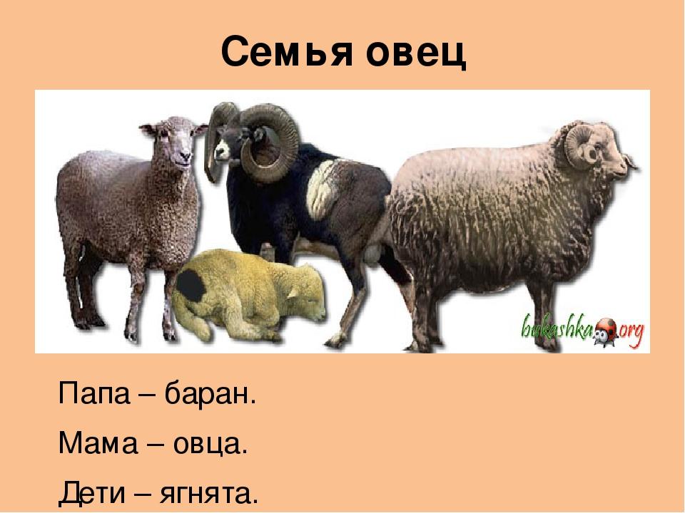 Как называют детеныша овцы и барана: обзор и фото