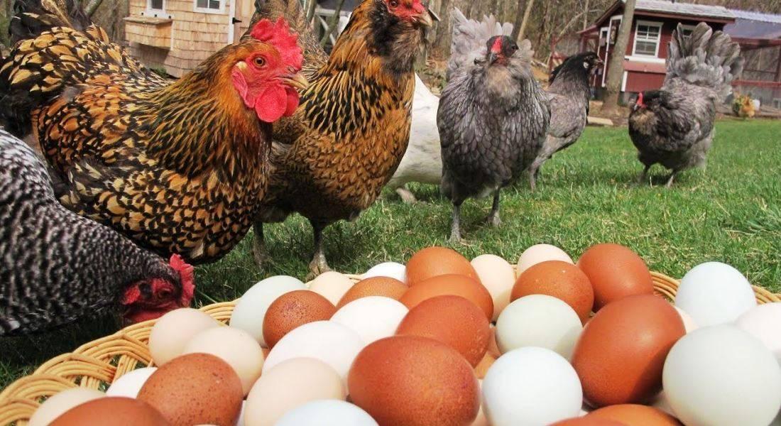 Какая порода кур самая яйценоская