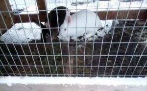 Содержание кроликов зимой на улице: разведение и особенности кормления