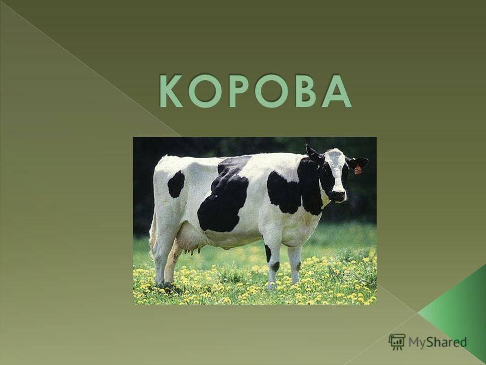 Запуск коров. особенности кормления и содержания коров в сухостойный период