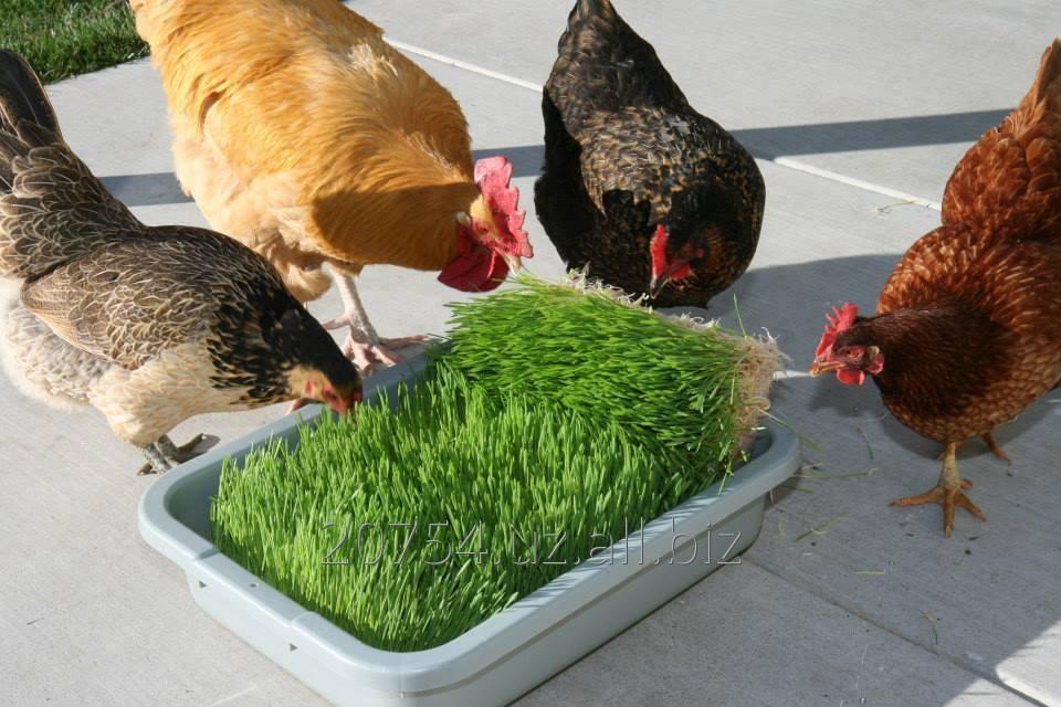 Как и чем кормить гусей зимой в домашних условиях